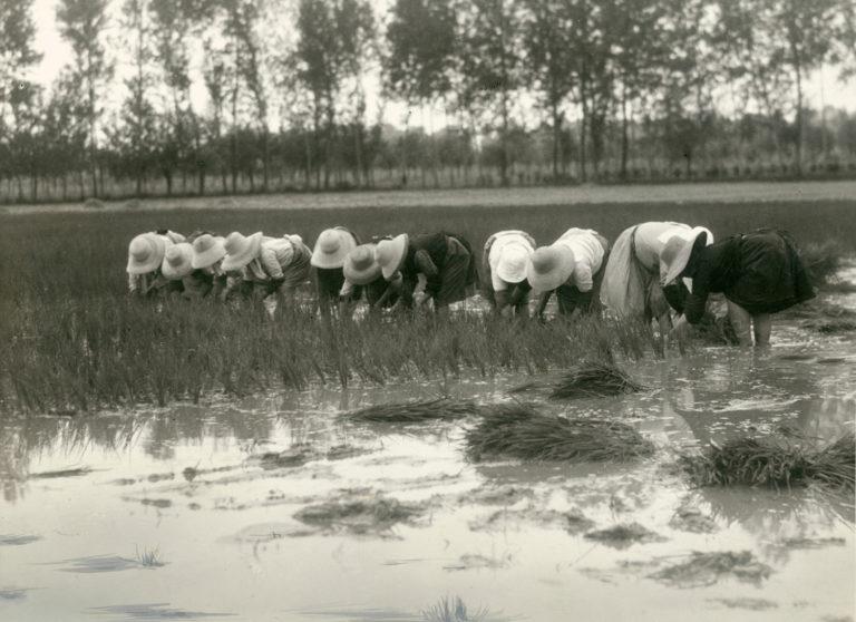 Coltivazione del riso in Lomellina, ca. 1930